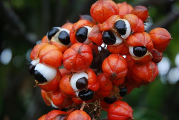 Guarana fruit